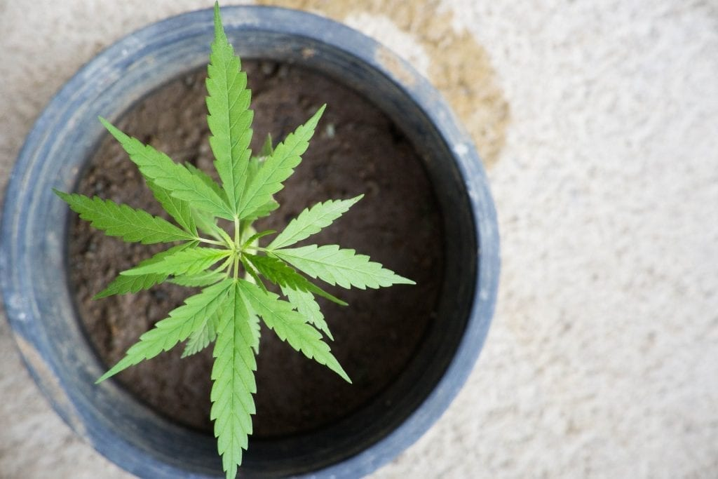 Cannabis plant in a pot with soil