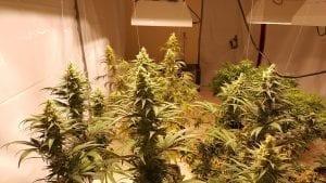 Cannabis plant flowering indoors
