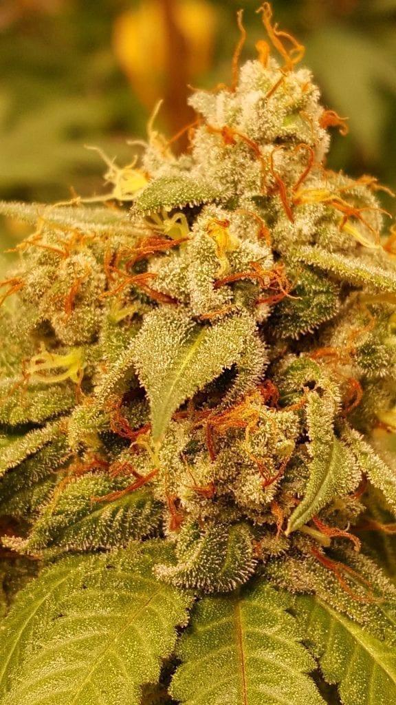Floração da planta de Cannabis Queijo Doce