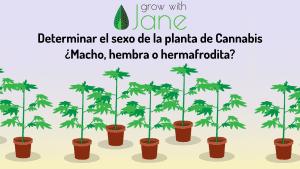 Determinar el sexo de la planta de Cannabis: macho, hembra o hermafrodita