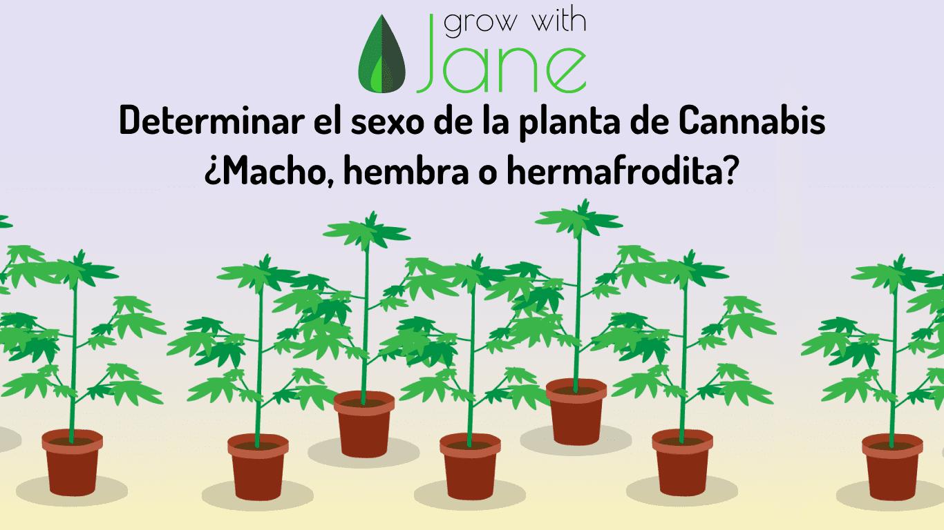 planta cannabis macho hembra hermafrodita