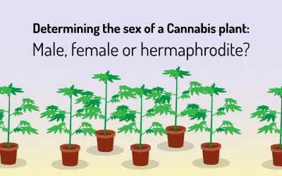 Determining the sex of your Cannabis plants