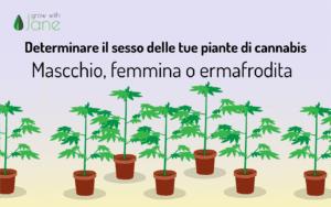 Determinare il sesso delle tue piante di cannabis