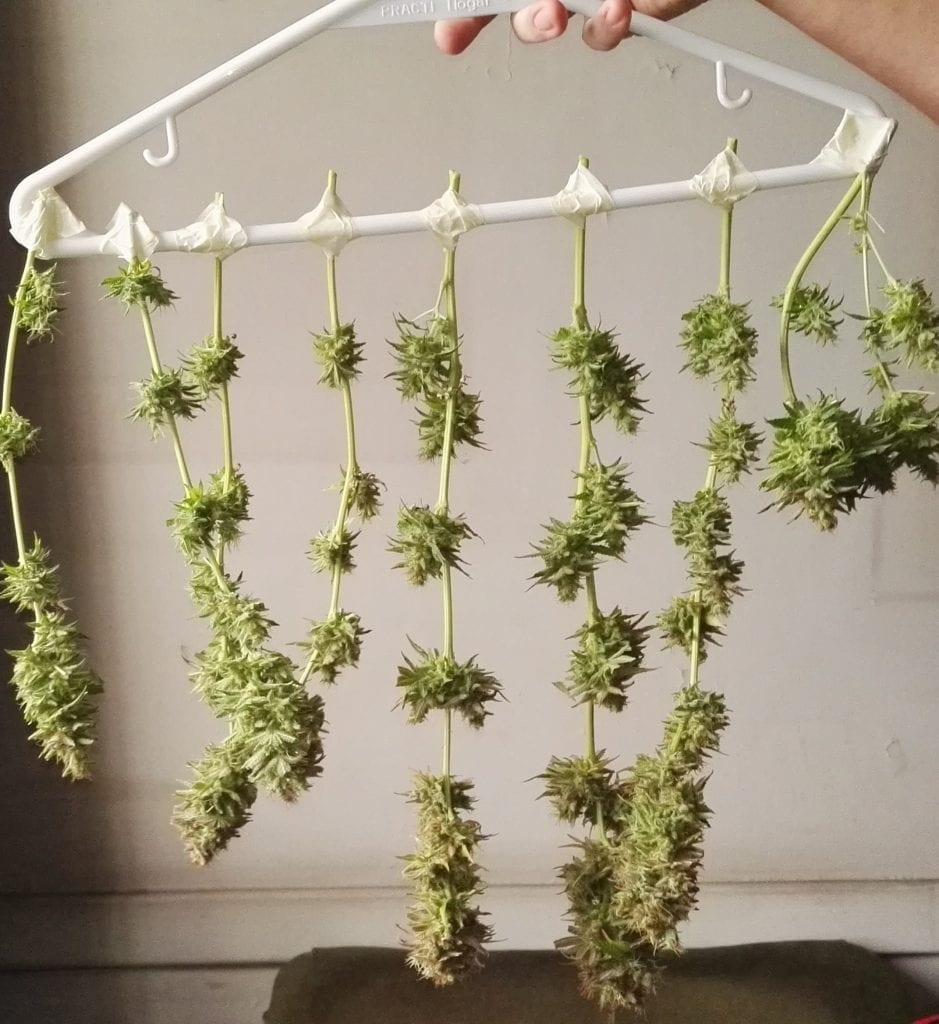 Ramas de cannabis y cogollos colgando para secado   PH: Alicia M