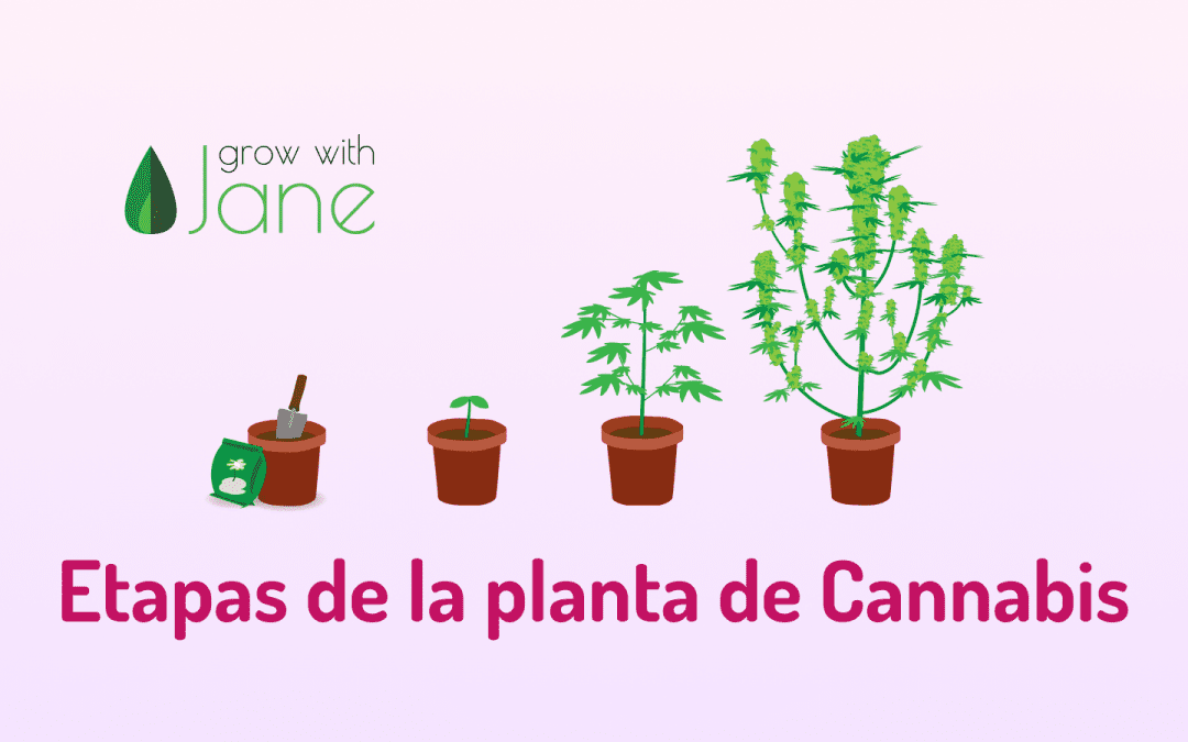El ciclo de vida de la planta de Cannabis – Etapas semana a semana