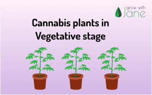 Vegetative stage in Cannabis plants: a guide for beginners