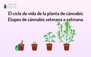El cicle de vida de la planta de cànnabis – Etapes de cànnabis setmana a setmana