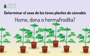 Determinar el sexe de les teves plantes de cànnabis