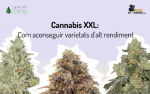 Cannabis XXL: Com aconseguir varietats d'alt rendiment