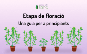 Etapa de floració en plantes de cànnabis: una guia per a principiants