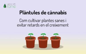 Plàntules de cànnabis – Com evitar el creixement sorprès