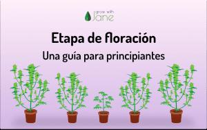 Etapa de floración en las plantas de Cannabis: una guía para principiantes