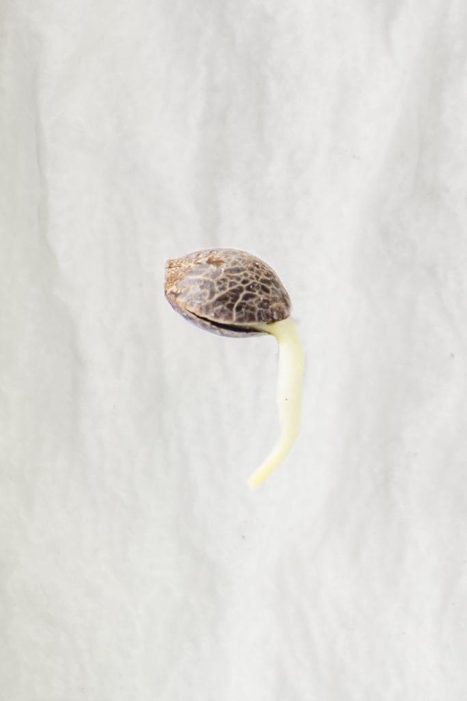 arrel de l'aixeta de germinació de llavors de cànnabis