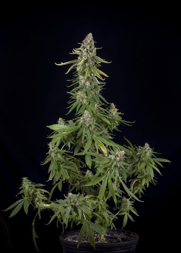 cannabis plant with nutrients