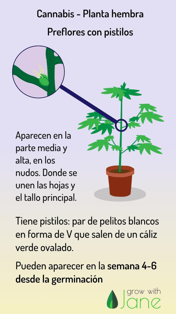 identificar cannabis-planta-hembra preflores