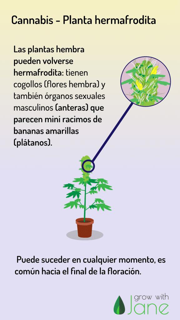 identificar cannabis-planta-hermafrodita bananas cgollos