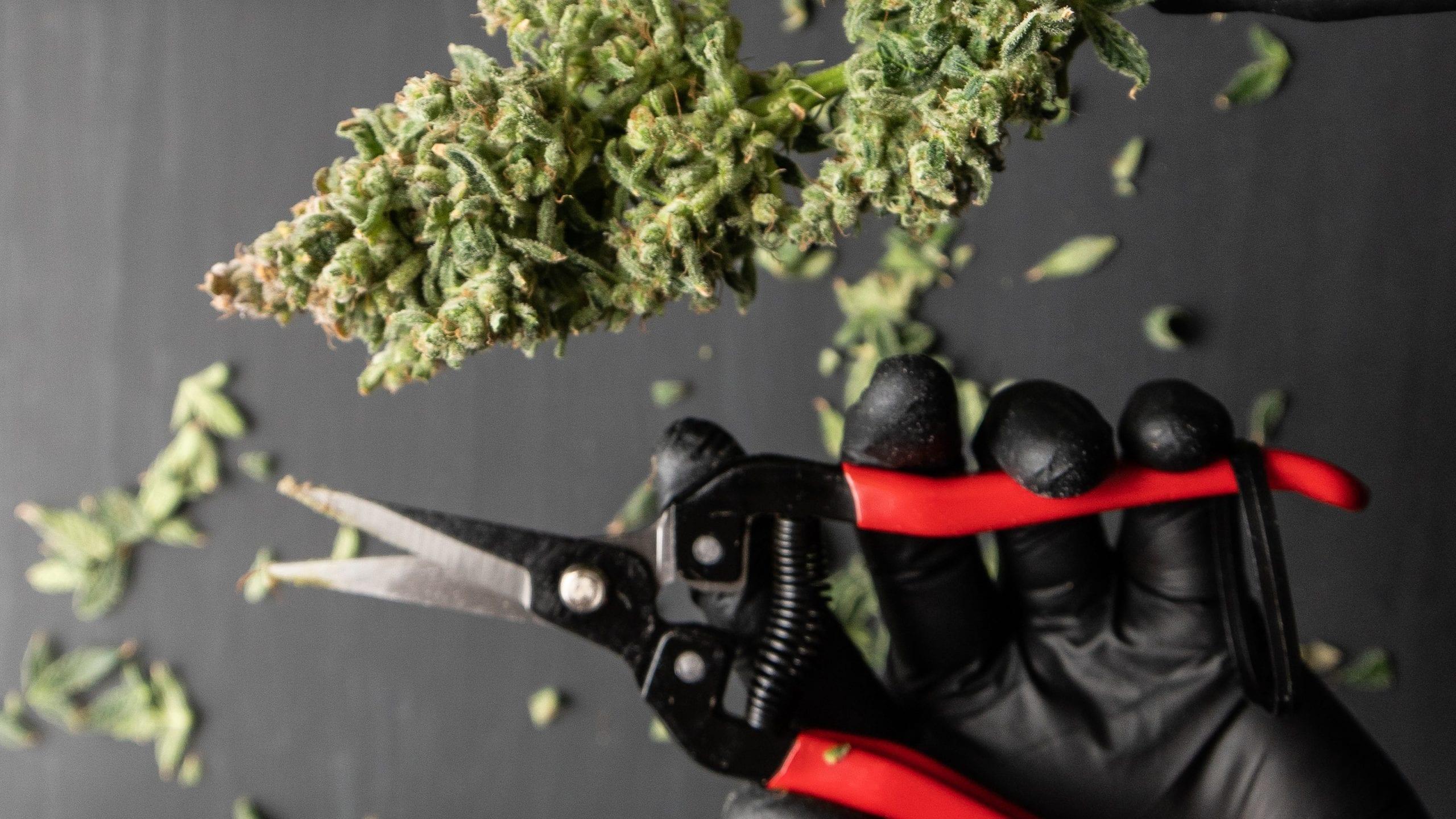 colhendo botões de cannabis