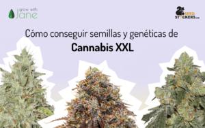 Cómo conseguir semillas y genéticas de Cannabis XXL