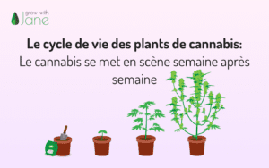 Le cycle de vie des plants de cannabis – Le cannabis se met en scène semaine après semaine