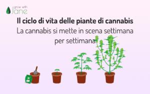 Il ciclo di vita delle piante di cannabis – La cannabis si mette in scena settimana per settimana