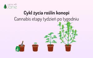 Cykl życia roślin konopi – Cannabis etapy tydzień po tygodniu