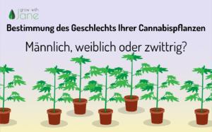 Bestimmung des Geschlechts Ihrer Cannabispflanzen