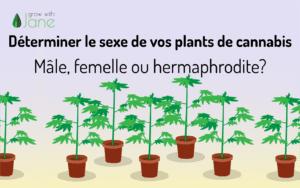 Déterminer le sexe de vos plants de cannabis