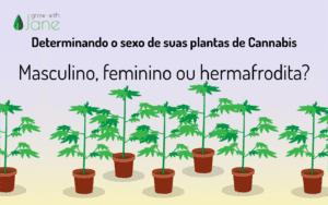 Determinando o sexo de suas plantas de Cannabis