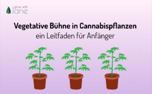 Vegetative Bühne in Cannabispflanzen: ein Leitfaden für Anfänger
