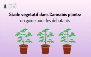Stade végétatif dans Cannabis plants: un guide pour les débutants