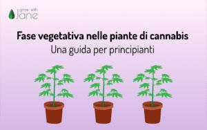 Fase vegetativa nelle piante di cannabis: una guida per principianti