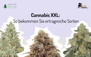 Cannabis XXL: So bekommen Sie ertragreiche Sorten