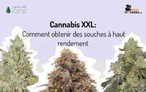 Cannabis XXL: Comment obtenir des souches à haut rendement