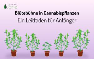 Blütebühne in Cannabispflanzen: ein Leitfaden für Anfänger