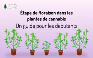 Étape de floraison dans les plantes de cannabis: un guide pour les débutants