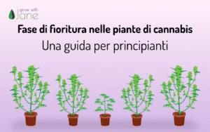 Fase di fioritura nelle piante di cannabis: una guida per principianti