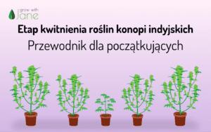 Etap kwitnienia roślin konopi indyjskich: przewodnik dla początkujących