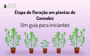 Etapa de floração em plantas de Cannabis: um guia para iniciantes