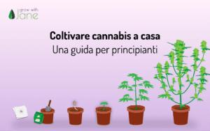 Coltivare cannabis a casa: una guida per principianti
