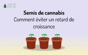 Semis de cannabis – Comment éviter un retard de croissance