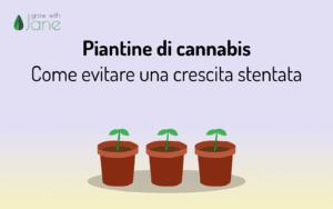 Piantine di cannabis – Come evitare una crescita stentata