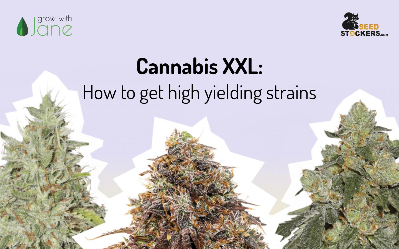 cannabis high yielding strains